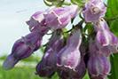 consoude-fleur-une