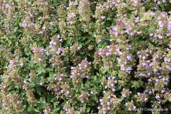 thym-serpolet-plante-2015