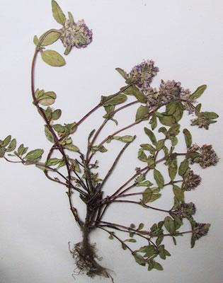 thym-serpollet-herbier